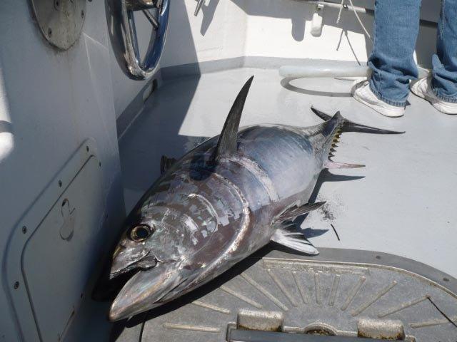 tuna charter cape cod