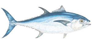 bluefin tuna charters cape cod ma