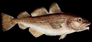 cod fishing charter cape cod