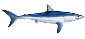 shark charter fishing cape cod mass