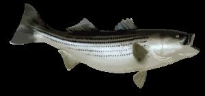 striped bass charter cape cod